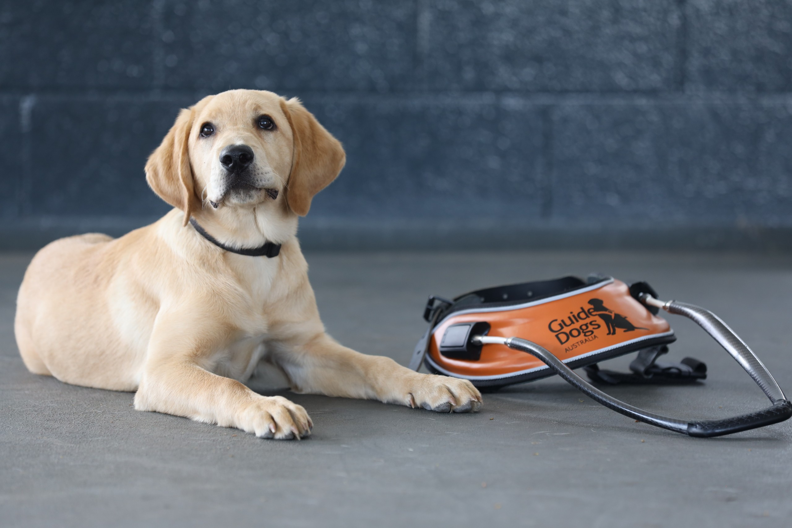Guide Dogs Queensland - Cali