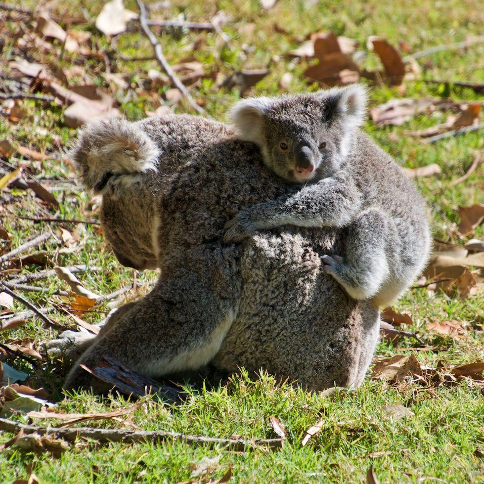 Koala recovery program